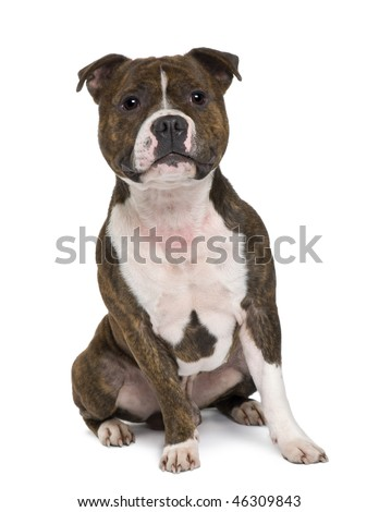 Staffordshire bull terrier sitting in front of white background - stock photo