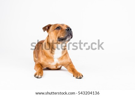 Staffordshire bull terrier, staffbull, staffy