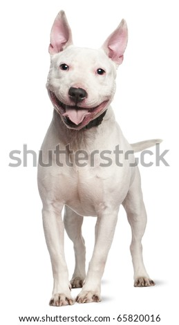 Staffordshire Bull Terrier, 4  years old, standing in front of white background - stock photo