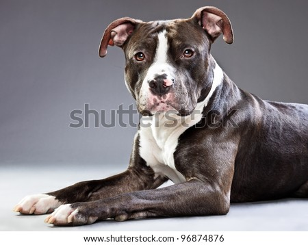Staffordshire dog isolated on grey background - stock photo