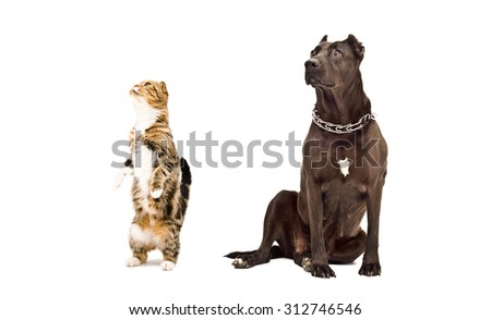 Staffordshire Terrier and curious cat Scottish fold isolated on white background - stock photo