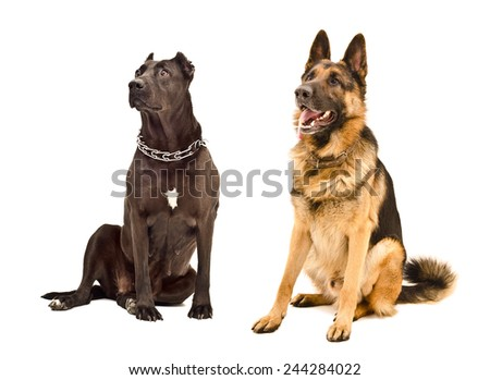 Staffordshire Terrier and German Shepherd sitting together looking up - stock photo