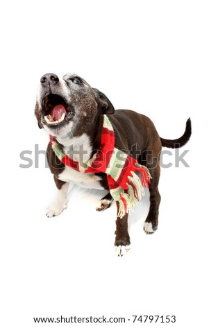 Staffordshire Terrier cross breed wearing colored scarf - stock photo