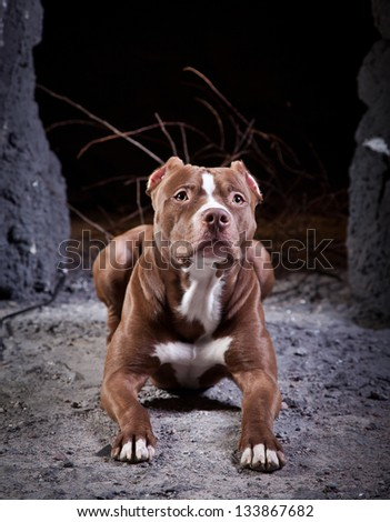 Staffordshire Terrier dog - stock photo