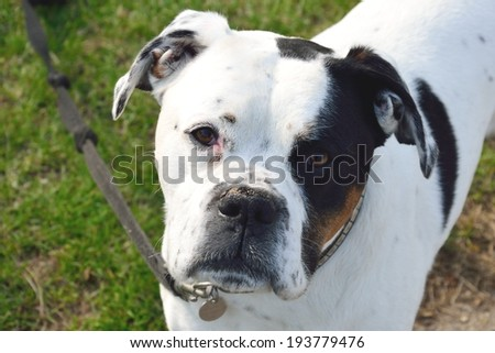Staffordshire terrier looking at camera - stock photo
