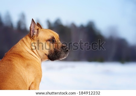 Staffordshire Terrier on a winter walk - stock photo