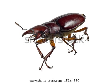 Stag beetle isolated on a white background