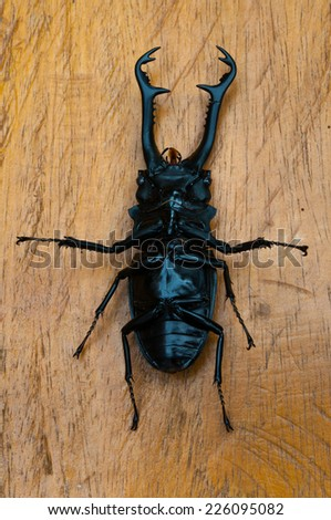 Stag beetle on wood table - stock photo