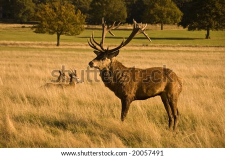 Stag with huge antlers in Richmond Park, London - stock photo