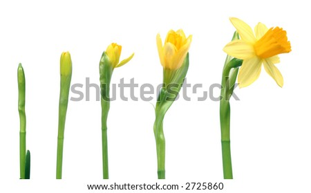 Stages of growth - narcissus on white background - stock photo