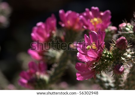 Staghorn Cholla cactus (Cylindropuntia versicolor), with many flowers blooming - stock photo