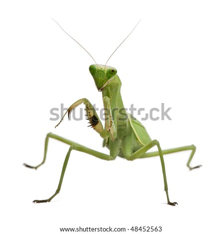 Stagmatoptera Sp, Stagmatoptera, praying mantis, in front of white background
