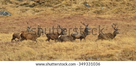 Stags in the Glen - stock photo