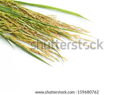 Stalk of paddy grain isolated on white background - stock photo