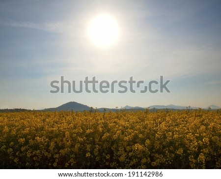 Stalk of rape in the spring  yellow field of blooming rapes, the sharp hill on the horizon. - stock photo