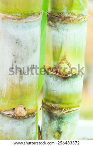 Stalk of sugarcane - stock photo