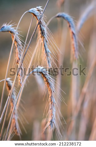 Stalk of wheat with a ripening ear at the top. Crop field.