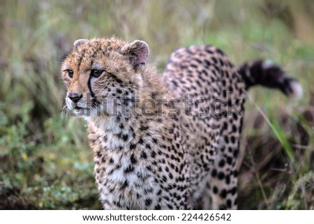 Stalking Baby Cheetah in Kruger National Park - stock photo