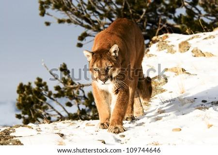 Stalking Mountain Lion - stock photo