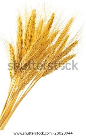 Stalks of golden wheat grain isolated on white background - stock photo