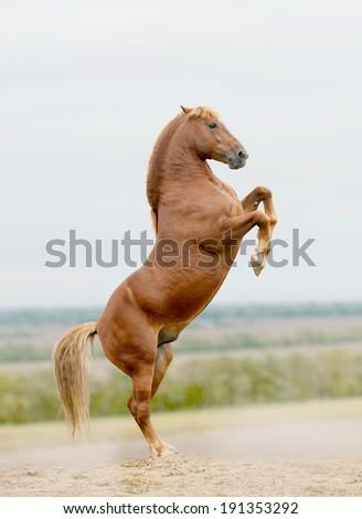 stallion rears - stock photo