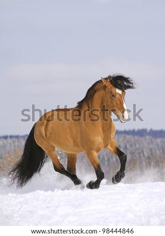stallion running in snow - stock photo