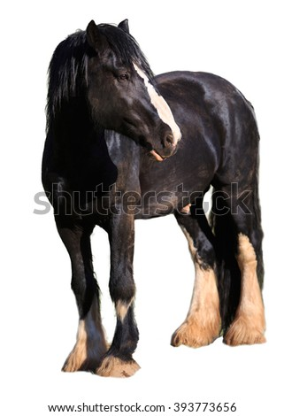 Stallions Black Gypsy Vanner Horse isolated on white - stock photo