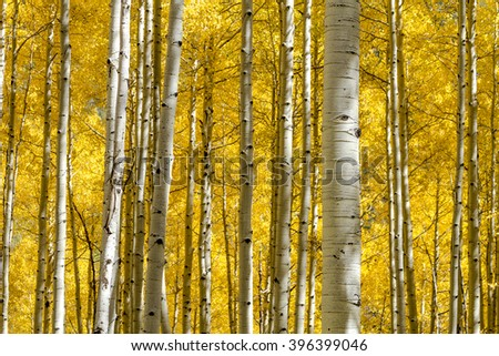 Stand of Aspen tree trunks with changing leaves looking down mountain side on sunny autumn morning - stock photo