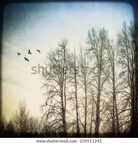 Stand of birch trees in winter with a flock of birds processed with textures for an artistic look. - stock photo