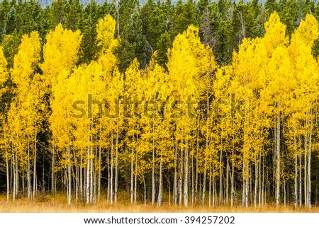Stand of changing yellow Aspen tree in front of dark green pine trees in mountains of Colorado on fall afternoon - stock photo