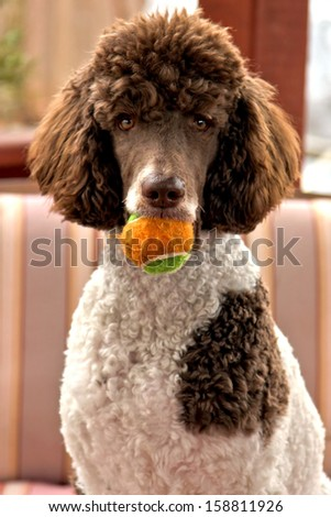 Standard parti poodle - stock photo