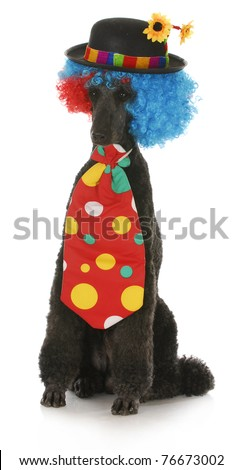 standard poodle dressed up in a clown costume on white background - stock photo