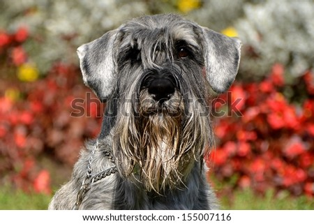 Standard Schnauzer, - stock photo