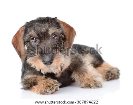 Standard Wire-haired dachshund puppy. isolated on white background - stock photo