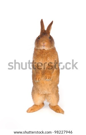 Standing  a rabbit on a white background