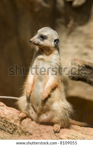 Standing African meercat brightly lit by sun looking sideways