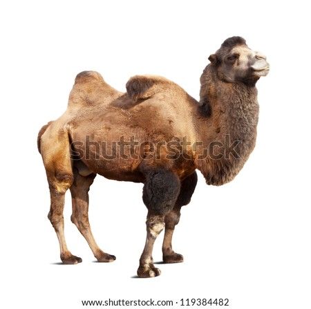 Standing bactrian camel (Camelus bactrianus). Isolated on white background with shade - stock photo