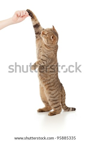 standing cat  eating food from hand isolated on white