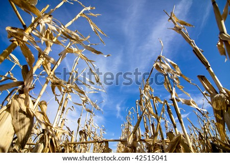standing corn crop from worm's eye view - stock photo