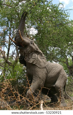 Standing elephant in Kruger National Park - stock photo