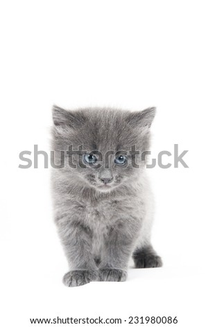 Standing grey kitten on a white background