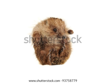 Standing hedgehog on a white background