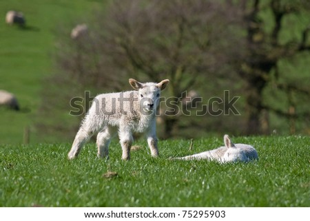 Standing lamb looks at the viewer near another sleeping lamb - stock photo
