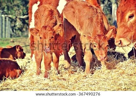 Standing Limousin calves - stock photo
