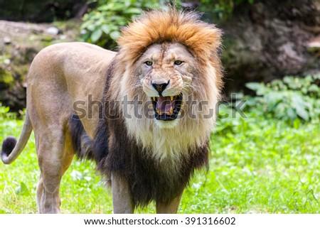 standing lion roars - stock photo