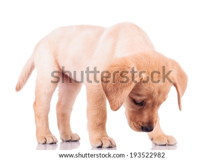 standing little labrador retriever puppy dog sniffing something on white background - stock photo