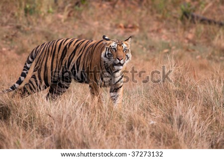 Standing male Bengal Tiger (Panthera tigra) staring into the distance - stock photo