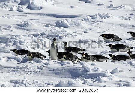 Standing penguin in penguin procession in Antarctica - stock photo