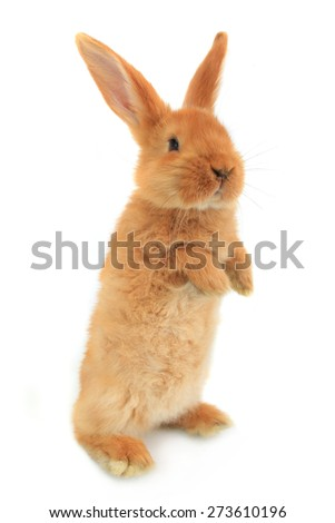 standing rabbit on a white background - stock photo