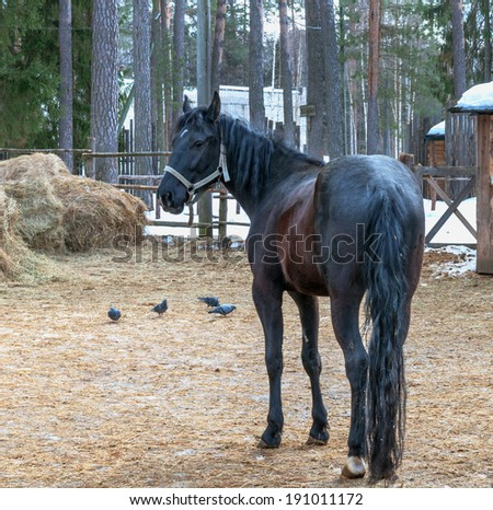 standing rear bay horse on the farm - stock photo